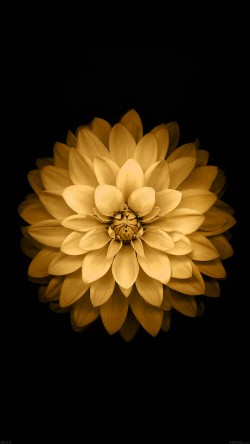 papers.co-ad39-apple-yellow-lotus-iphone6-plus-ios8-flower-33-iphone6-wallpaper