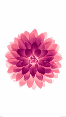 papers.co-ad77-apple-red-on-white-lotus-iphone6-plus-ios8-flower-33-iphone6-wallpaper