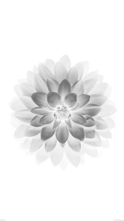 papers.co-ad78-apple-white-lotus-iphone6-plus-ios8-flower-33-iphone6-wallpaper