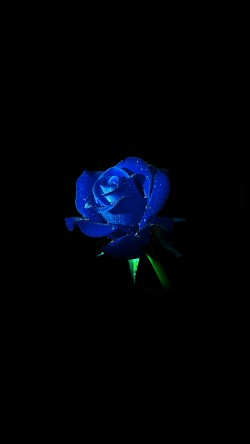 papers.co-am02-blue-rose-dark-flower-nature-33-iphone6-wallpaper