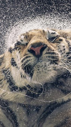 papers.co-aq69-kanja-shaking-tiger-water-animal-33-iphone6-wallpaper