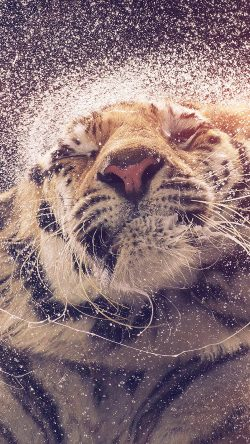 papers.co-aq70-kanja-shaking-tiger-water-animal-flare-33-iphone6-wallpaper