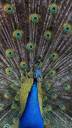 papers.co-as05-peacock-animal-bird-art-33-iphone6-wallpaper