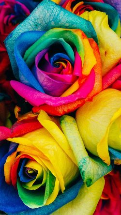 papers.co-as98-flower-rose-color-rainbow-art-nature-33-iphone6-wallpaper