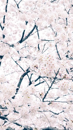 papers.co-ma64-sakura-cherry-spring-tree-flower-nature-33-iphone6-wallpaper
