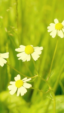papers.co-mc91-wallpaper-spring-flower-white-grass-nature-33-iphone6-wallpaper
