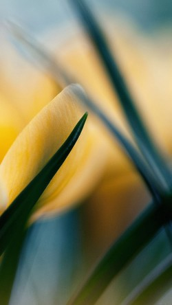 papers.co-md31-wallpaper-yellow-crocus-flower-beauty-nature-33-iphone6-wallpaper
