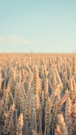 papers.co-md33-wallpaper-android-rye-field-nature-33-iphone6-wallpaper