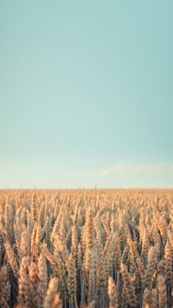 papers.co-md34-wallpaper-android-rye-field-sky-nature-33-iphone6-wallpaper