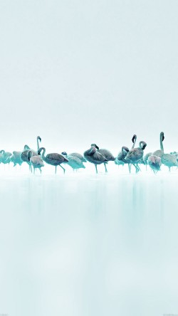 papers.co-me80-flamingos-blue-peace-animal-nature-birds-33-iphone6-wallpaper