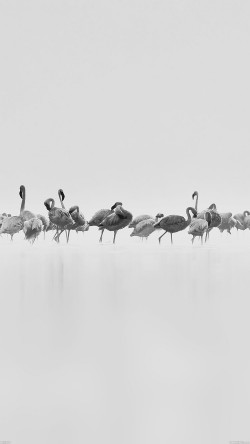 papers.co-me81-flamingos-white-peace-animal-nature-birds-33-iphone6-wallpaper