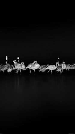 papers.co-me82-flamingos-black-peace-animal-nature-birds-33-iphone6-wallpaper