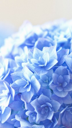 papers.co-mg38-blue-hortensia-flower-beautiful-nature-33-iphone6-wallpaper