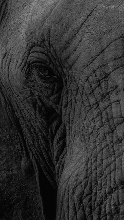 papers.co-mh89-elephant-eye-animal-nature-33-iphone6-wallpaper