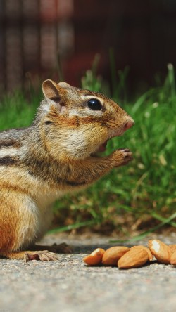 papers.co-mi27-chipmunk-eating-surprised-nature-animal-33-iphone6-wallpaper