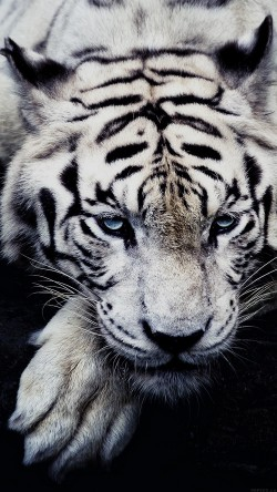 papers.co-ml56-white-tiger-animal-33-iphone6-wallpaper