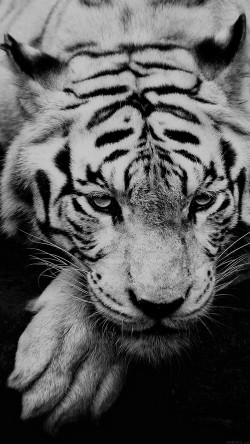 papers.co-ml57-bw-dark-tiger-animal-33-iphone6-wallpaper