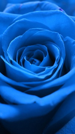 papers.co-ml59-rose-flower-blue-nature-33-iphone6-wallpaper