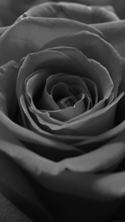 papers.co-ml60-rose-flower-dark-bw-nature-33-iphone6-wallpaper
