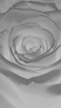 papers.co-ml61-rose-flower-white-nature-33-iphone6-wallpaper