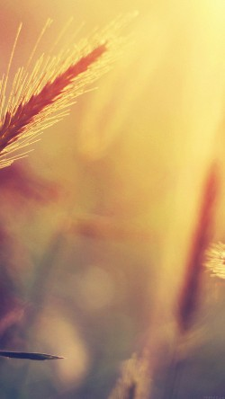 papers.co-mm18-sunset-reed-flower-nature-33-iphone6-wallpaper