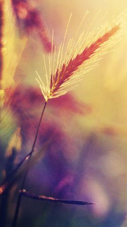 papers.co-mm19-sunset-reed-flower-flare-nature-33-iphone6-wallpaper
