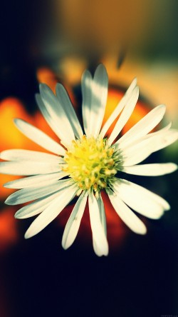 papers.co-mm34-white-flower-nature-33-iphone6-wallpaper