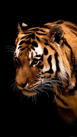 papers.co-mm81-tiger-jk-dark-animal-love-nature-33-iphone6-wallpaper