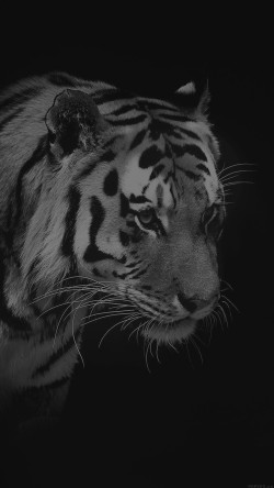 papers.co-mm83-tiger-dark-bw-animal-love-nature-33-iphone6-wallpaper