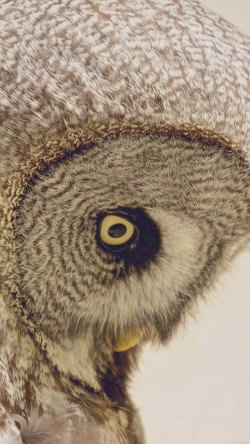 papers.co-mm84-owl-eye-animal-nature-33-iphone6-wallpaper