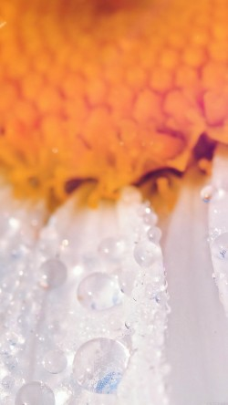 papers.co-mn23-flower-raindrop-orange-nature-33-iphone6-wallpaper