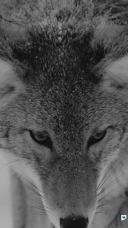 papers.co-mn84-wolf-snow-animal-dark-bw-levi-saunders-33-iphone6-wallpaper