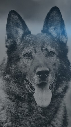 papers.co-mo07-my-shepherds-dog-blue-flare-smile-animal-nature-33-iphone6-wallpaper