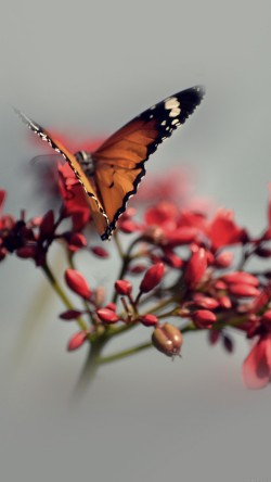 papers.co-mo08-nature-butterfly-flower-red-33-iphone6-wallpaper