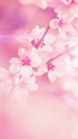 papers.co-mp03-spring-flower-pink-cherry-blossom-flare-nature-33-iphone6-wallpaper