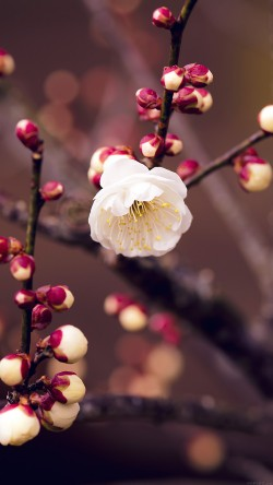 papers.co-mp15-apricot-flower-bud-spring-nature-twigs-tree-33-iphone6-wallpaper