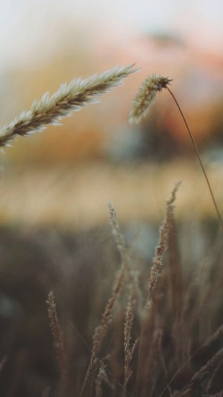 papers.co-mp34-reed-flower-nature-field-33-iphone6-wallpaper