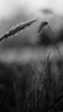 papers.co-mp35-reed-flower-nature-field-bw-33-iphone6-wallpaper