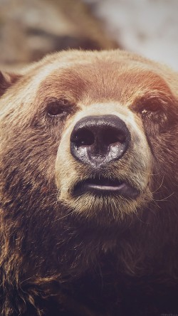 papers.co-mp74-bear-face-what-the-hell-nature-flare-animal-33-iphone6-wallpaper