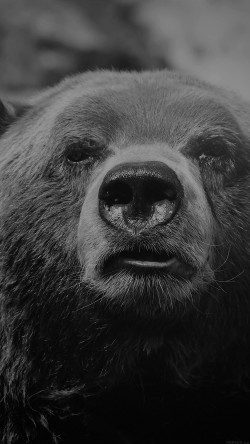 papers.co-mp75-bear-face-what-the-hell-nature-bw-dark-animal-33-iphone6-wallpaper