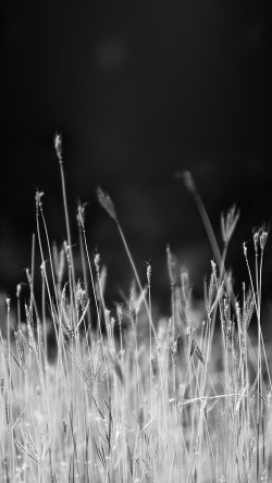 papers.co-mp89-reed-weed-flower-nature-flare-black-bw-33-iphone6-wallpaper