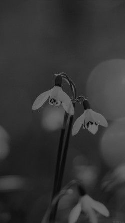 papers.co-mq01-uknown-flower-blue-bokeh-flare-dark-black-bw-33-iphone6-wallpaper