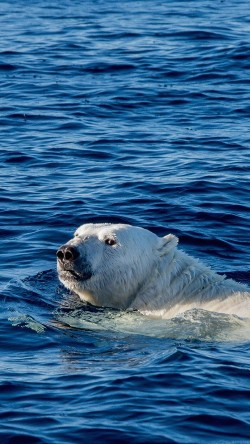 papers.co-mq04-watch-me-swim-polar-bear-sea-animal-33-iphone6-wallpaper