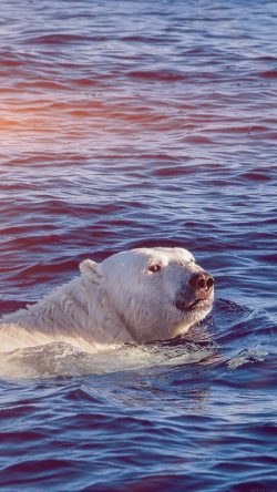 papers.co-mq05-dont-watch-me-swim-polar-bear-sea-animal-flare-33-iphone6-wallpaper