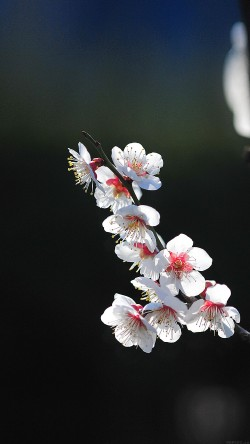 papers.co-mq22-spring-flower-sakura-nature-tree-33-iphone6-wallpaper