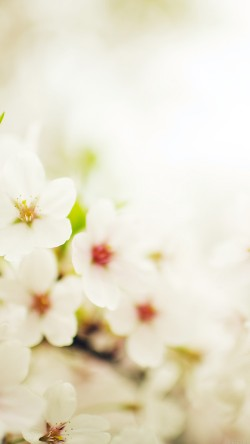 papers.co-mq75-blossom-cherry-spring-sakura-nature-flower-33-iphone6-wallpaper