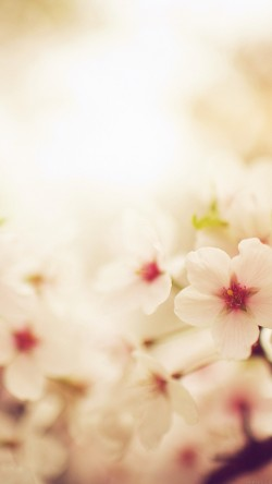 papers.co-mq76-blossom-cherry-spring-red-sakura-nature-flower-33-iphone6-wallpaper