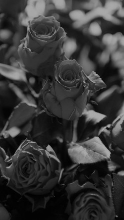 papers.co-ms46-rose-flower-gift-red-nature-dark-bw-33-iphone6-wallpaper