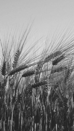papers.co-mt06-flower-reed-food-nature-bw-dark-33-iphone6-wallpaper