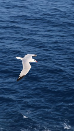 papers.co-mt15-seagull-bird-sea-ocean-animal-nature-33-iphone6-wallpaper